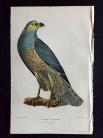 Alexander Wilson 1877 Bird Print. Blue Hawk or hen Harrier